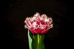 El tulipán rojo grande de Terry con rosa franjado con verde se va en un fondo negro Fotografía de archivo libre de regalías