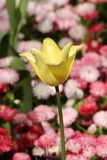 El tulipán rojo se destaca Imagen de archivo libre de regalías
