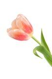 El tulipán rosado aislado en blanco Foto de archivo libre de regalías
