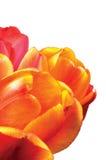 El tulipán anaranjado, rojo, amarillo florece, detalló el primer principal de los pétalos, tulipanes aislados, macro detallada gr Fotos de archivo libres de regalías