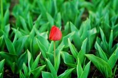 El tulipán rojo se destaca Fotografía de archivo