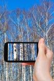 El turista fotografía árboles de abedul en día de primavera Fotos de archivo