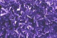 El ultravioleta deja el fondo Fotografía de archivo libre de regalías