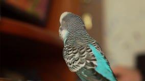 El undulatus del Melopsittacus del periquito se sienta en una tabla almacen de metraje de vídeo