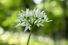 El ursinum del allium lleva el ajo en la floración, luz mágica foto de archivo