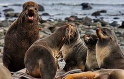 El ursinus septentrional del Callorhinus del lobo marino es un sello espigado encontrado a lo largo del océano de North Pacific,  fotos de archivo libres de regalías