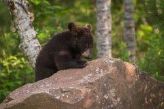 El Ursus Cub americanus del oso negro arquea la cabeza encima de la roca Imagen de archivo