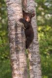 El Ursus Cub americanus del oso negro mira para arriba del lado del árbol Tru Imágenes de archivo libres de regalías