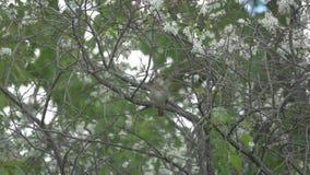 El usignuolo que se sienta en una rama y canta almacen de metraje de vídeo