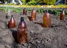El uso de botellas plásticas de proteger los almácigos Fotografía de archivo