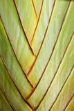 El vástago del plátano Fotos de archivo libres de regalías