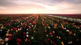 El vídeo de Timelapse del sol está fijando sobre campo hermoso del tulipán en primavera almacen de metraje de vídeo