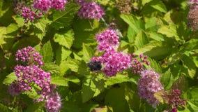 El vídeo del primer de manosea las abejas que polinizan la planta de Spirea con las flores 4k UHD del rosa almacen de video