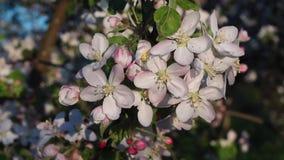 El vídeo es el flor de las flores blancas de la manzana en la primavera metrajes