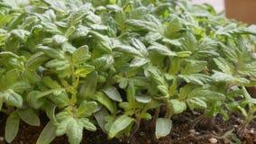 el vídeo 4k muestra cómo producir los tomates de las semillas - cámara lenta del tiro de trueque metrajes