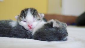 El v?deo divertido dos gatitos reci?n nacidos lindos de los animales dom?sticos duerme trabajo en equipo en la cama concepto de l almacen de metraje de vídeo