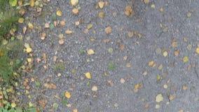 El vagar en el camino de la grava del bosque con el árbol de abedul caido se va en otoño almacen de metraje de vídeo