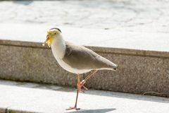 El Vanellus es el género de aves zancudas que contiene provisional todos Fotos de archivo