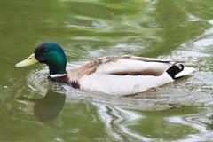 El varón del pato enseña a los pequeños anadones a nadar imágenes de archivo libres de regalías