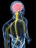 El varón destacó el sistema del nervio Fotos de archivo