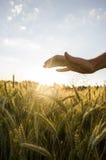 El varón entrega el campo de trigo hermoso. Fotografía de archivo libre de regalías