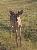 El varón joven blanco-ató ciervos con las astas cortas que se colocaban en flores de la hierba seca imagen de archivo