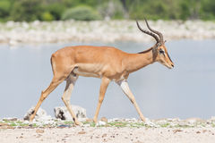 El varón negro-hizo frente al impala (el petersi del melampus del Aepyceros) Fotos de archivo