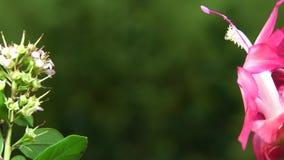 El varón y los colibríes femeninos toman da vuelta en la flor rosada almacen de video