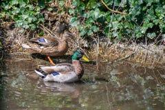 El varón y los patos femeninos del pato silvestre con los anadones amontonaron juntos en el riverbank ocultados entre la vegetaci fotos de archivo