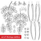 El vector fijó con el árbol de la moringa oleifera o del palillo o del rábano picante del esquema Flor, semilla, vainas y hoja ad Stock de ilustración