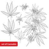 El vector fijó con el cáñamo del esquema sativa o cáñamo indica o marijuana Rama, hojas y semilla aisladas en el fondo blanco libre illustration