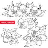 El vector fijó con el manojo de la flor del jazmín del esquema, el brote y las hojas adornadas en negro aislados en el fondo blan ilustración del vector
