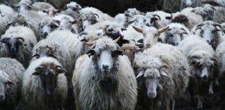 El venir de las ovejas? fotografía de archivo