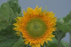 El verano amarillo del girasol siembra las hojas Foto de archivo libre de regalías