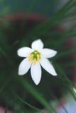 El verano blanco florece el primer con el fondo borroso Foto de archivo libre de regalías