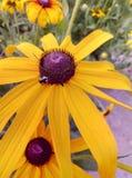 el verano florece belleza del amarillo del insecto imagen de archivo