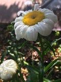 El verano florece el amarillo de New México Albuquerque de la lluvia fotografía de archivo libre de regalías