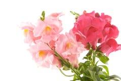 El verano florece el snapdragon Imagenes de archivo