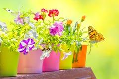 El verano florece en las macetas coloridas hechas excursionismo en un backg borroso Imágenes de archivo libres de regalías