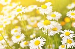 El verano florece los flores de la manzanilla en prado Fotografía de archivo