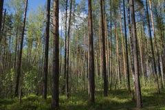 El verano más forrest de los árboles mezclados de la naturaleza del fondo Fotos de archivo
