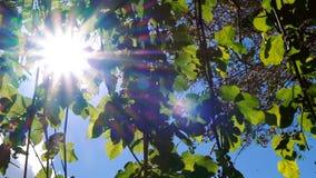 El verano o la estación de primavera con la vid se va en los rayos del viñedo y del sol que brillan a través almacen de metraje de vídeo