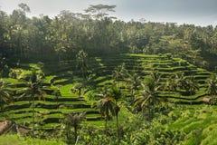 El verde coloca el arroz Imagen de archivo