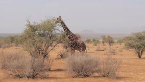 El verde de la consumición de la jirafa se va de los arbustos de la sabana africana almacen de metraje de vídeo