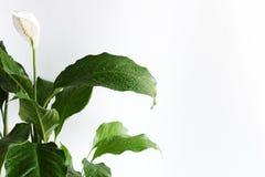 El verde de la flor blanca hojea el fondo blanco fotos de archivo libres de regalías
