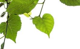 El verde de la mora se va en un fondo blanco del cielo Imágenes de archivo libres de regalías