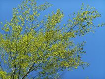 El verde de la primavera deja abedules y el cielo azul Fotos de archivo libres de regalías