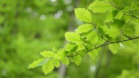 El verde de la rama deja la mudanza de la haya almacen de video