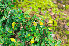 El verde deja amarillo alterno y hay agua en las hojas Imagen de archivo
