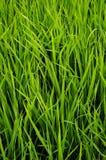 El verde deja a cosechas del brote de la hierba el fondo foto de archivo